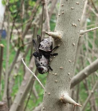#2: An elusive adult rabbit bot fly. Photo Credit: Quentin Sprengelmeyer.