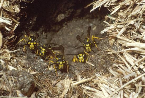 Yellowjacket Season
