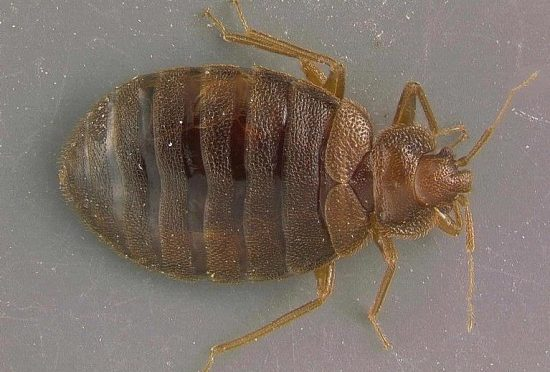 Free Couch? Think Twice About Bed Bugs