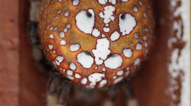 Signs of Autumn: Orbweavers