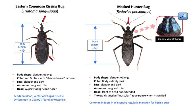 Masked Hunter Bugs: Another Kissing Bug Look-Alike