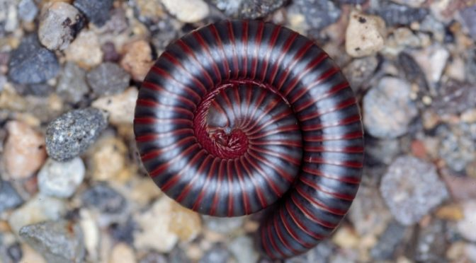 A Wandering Horde of…Millipedes