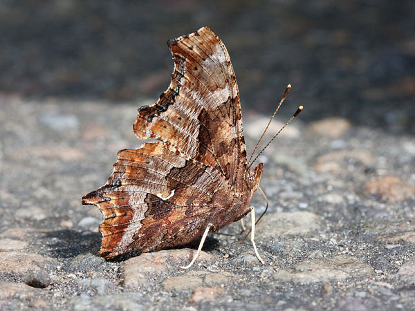 Eastern Comma Butterfly-Underside