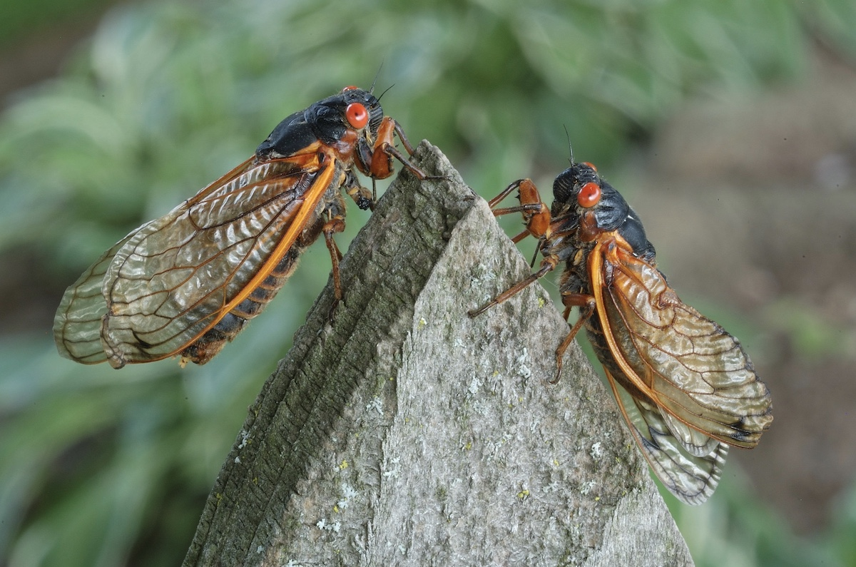 Two periodical cicadas on a rock