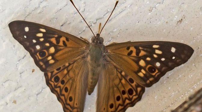 Hackberry Emperor Butterflies Take the Stage in Wisconsin