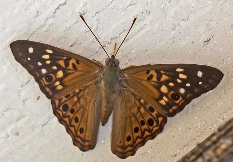 Hackberry emperor butterfly with wings spread