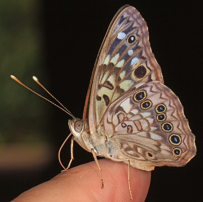 Hackberry emperor butterfly with wings folded at rest