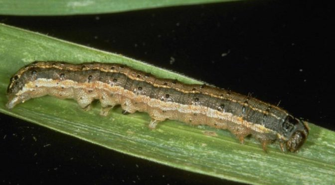 Fall Armyworms: A Late Summer Surprise in Wisconsin