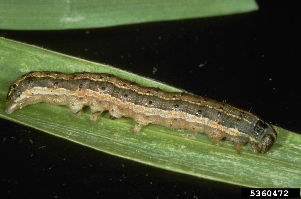 Fall armyworm caterpillar